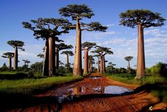 Kingdom Plantae, Turgor pressure Madagascar Baobab trees store up to gallons in their swollen trunks to survive the sometimes harsh drought conditions in which they must survive. Oh The Places You'll Go, Places To Travel, Places To Visit, Madagascar Holidays, Baobab Tree, Photos Voyages, Africa Travel, Seychelles, Dream Vacations