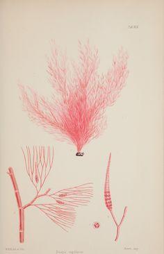 1 - Nereis australis, or Algae of the southern ocean : - Biodiversity Heritage Library