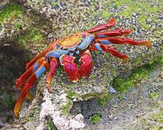 Sally Lightfoots Though these colorful crabs can be found along most of the Pacific Coast of the Americas, the population in the Galapagos e...
