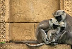monkeys cuddling on a ledge inside their enclosure at Germany's Hanover Zoo; great composition