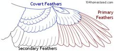 Part of our Animal Movement Learning Guide. Learning and teaching resource for Animal Movement written by PhD students from Stanford, Harvard, Berkeley Wing Anatomy, Wings Sketch, Wings Drawing, Hummingbird Wings, Swan Wings, Dragon Bird, Animal Movement, Black Bird Tattoo, Dibujo