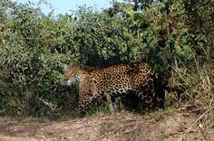 Onça-pintada no Pantanal Sul, Mato Grosso do Sul