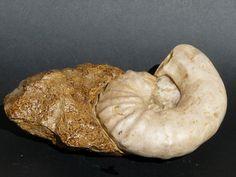 Ceratites pulcher