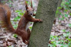 Forest, The Squirrel, Animal, Forest, Ruda #forest, #thesquirrel, #animal, #forest, #ruda