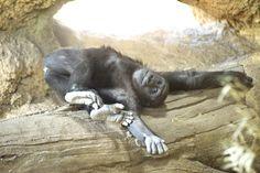 Gorilla  ゴロ寝♪♪