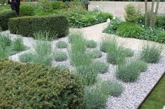 Lavendula in rows. Some cut and some natural. Garden of Ulf Nordfjell.