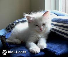 So little! #beautiful #fluffy #cuties #kitten