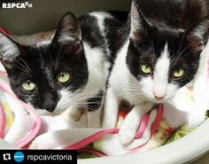 "#Repost @rspcavictoria  ""Im Diamond (on the left) and this is my sister Ruby. Weve been through a lot together. We were both dumped at the local beach with our babies. I dont know why someone would want to abandon two lovely cats like us let alone our gorgeous kittens! We didnt do anything wrong.  With nowhere to go and no one to help us take care of our little ones we didnt know what to do. Thank goodness a nice human found us and brought us into the RSPCA.  The people at the RSPCA helped…"