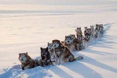 a true alaskan malamute pack!!