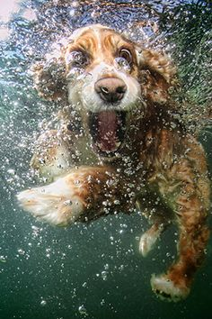 """Dad, look! No floatie!"" This cocker spaniel takes the plunge (sorry) in Underwater Dogs—a book chock-full of the cutest, weirdest dog faces never seen by man. Such as what a dog looks like when she's having the best, best, best time ever. Because she doesn't automatically sink in a pool! She can swim! And drink! All at the same time! Even while all the humans are rapidly exiting the water.  Underwater Dogs by Seth Casteel (Little, Brown and Company)"