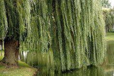 Weeping Willow Tree- Trauerweide — hier: Neverland.