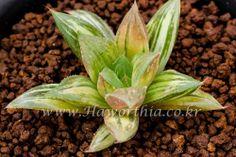 Haworthia Lucky variegate plant no ariocarpus cactus succulent agave caudex