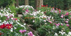 Garden Design Plans, Peonies Garden, Garden Planning, Wisteria, Pictures, Plant, Pentecost, Tips, Round Round