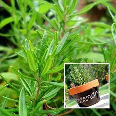 Rosemary garden plant seeds