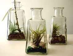 air plants in bottles...have a bunch from reed diffuser scents or get at dollar store or thrift.