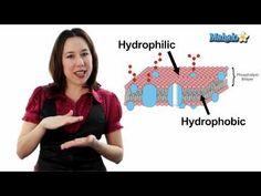 Learn Biology: Cells—The Plasma Membrane - http://www.thehowto.info/learn-biology-cells-the-plasma-membrane/