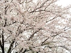 Cherry blossoms #flowers