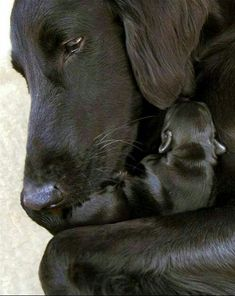 Cute Dogs And Puppies, I Love Dogs, Doggies, Beautiful Dogs, Animals Beautiful, Beautiful Gifts, Labrador Retriever Negro, Retriever Puppies, Labrador Retrievers