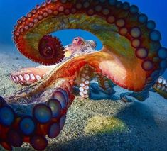 Octopus You are in the right place about Sealife design Here we offer you the most beautiful pictures about the Sealife fashion you are looking for. When you examine the Octopus part of the picture yo Beautiful Sea Creatures, Animals Beautiful, Animals And Pets, Cute Animals, Underwater Art, Underwater Photography, Octopus Art, Octopus Photos, Kraken