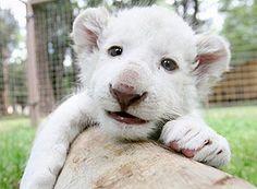 Filhote de leão branco, no zoológico de León, no México. Toda a fofura do mundo contida nessa foto.