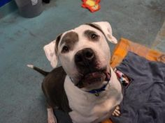 TO BE DESTROYED 01/14/17 A volunteer writes: BBB, or Big Beautiful Bolo, as I like to call him, is basically a big old mushball of joy. Bolo is very friendly and playful, walks well on a leash (only pulling a little when he's excited to get outside and do his business!), and seems to be housetrained. If you're looking for a happy, sweet, playful boy whose puppy days are behind him but still has lots of love to give, come and see Bolo at the Brooklyn ACC today!