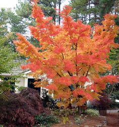 Sango Kaku Japanese Maple