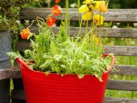 Reuse items, such as a red plastic tote, as a perfect container for colorful poppies or other plants that will attract bees, butterflies and birds.