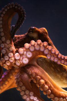"classy-captain: "" Key West Octopus by Joe Parks edited by classy-captain "" Underwater Creatures, Underwater Life, Ocean Creatures, Octopus Tentacles, Octopus Art, Octopus Photos, Octopus Tattoos, Octopus Painting, Octopus Drawing"