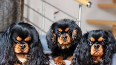 Black and Tan Cavaliers - so elegant!