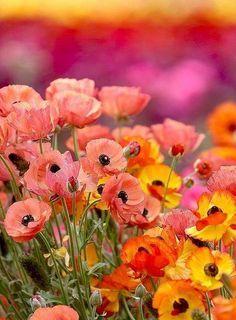 In Flanders Field, the poppies grow ... <3