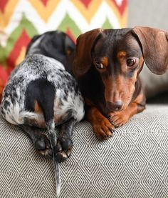 Dachshund front and rear