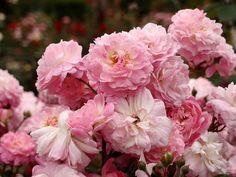 Rose Ohio Shrubs, Perennials, Outdoor Living, Landscape, Landscaping Ideas, Spring, Ohio, Flowers, Plants