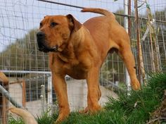 My new favorite Boerboel – Veiligplek Crespo of Boerboel Greece (aka The Lion Dog of Greece) Lion Dog, Dog Cat, Funny Animal Pictures, Funny Animals, Farm Dogs, Aggressive Dog, 7 Months, Cane Corso, Working Dogs