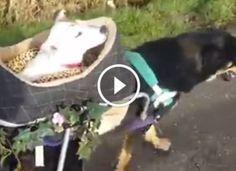 Megdobogtatta a netezők szívét a két beteg kutya, akik egymásnak segítenek Baby Car Seats, Children, Young Children, Boys, Kids, Child, Kids Part, Kid, Babies
