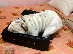 """❤ """"Your not leavin' without me !!"""" ❤ Posted on Baggy Bulldog"""