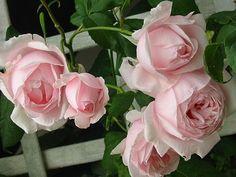 Moderne Strauch, Kletter- und Rankrosen » Rose Nahema (Delbard). Wonderful fragrance, repeat blooms & disease-resistant.