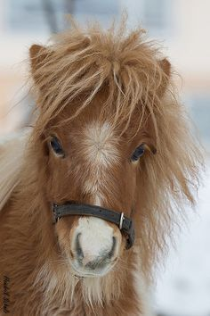 Cute and shaggy miniature horse or pony Baby Horses, Cute Horses, Pretty Horses, Horse Love, Wild Horses, Beautiful Horses, Animals Beautiful, Beautiful Creatures, Poney Miniature