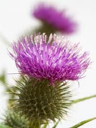 Self Sustained Living: Using thistle flowers to make rennet