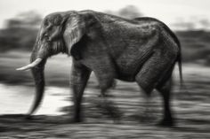 Elephant - from my b&w collection. - Photographed in Botswama. From my…