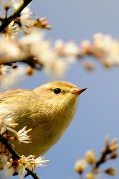 Willow Warbler by Tony  Armstrong