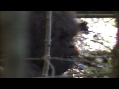Bigfoot Video Claims 2013: Footage, Evidence Claimed By Researchers In New Video - YouTube
