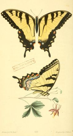 Swallowtail  'Papilio.' Plate from 'American Entomology' by Thomas Say. Published 1824 by Samuel Augustus Mitchell. Printed by William Brown.Biodiversity Heritage Library.archive.org