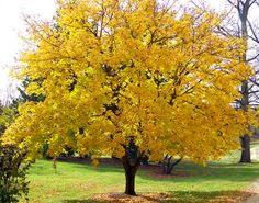 yellow trees | Yellow Maple Tree by David Wagner