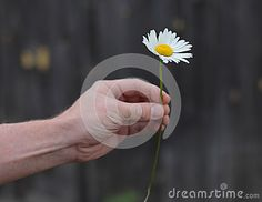 The man wonders on daisy and love