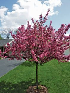 Flowering Crabapple (Malus spp.) Zones: 4 to 8 Size: 15 to 25 feet tall and wide  In the Midwest, there is no finer small flowering ornamental tree
