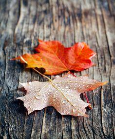 Το φθινόπωρο φύλλα σφενδάμου από Anjelika Gretskaia για 500px