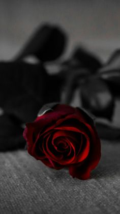 Red Rose With Black Leaves on Grey Textile · Free Stock Photo Flower Phone Wallpaper, Red Wallpaper, Black Flowers Wallpaper, Mobile Wallpaper, Aesthetic Roses, Red Aesthetic, Black Aesthetic Wallpaper, Aesthetic Wallpapers, Beautiful Rose Flowers