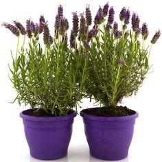 Lavender plants as favors Lavandula, Purple Flowers, Cactus Plants, Indoor Plants, Flower Pots, Planter Pots, Herbs, Lavender Plants, Provence