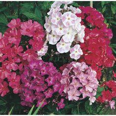 1 Pint Garden Phlox (L6680)