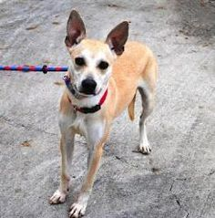 Meet Mary, an adopted Basenji & Shepherd Mix Dog, from DFW Rescue Me in Dallas, TX on Petfinder. Learn more about Mary today. Basenji Dogs, Shepherd Mix Dog, Mary Mary, Husky Mix, Hunting Dogs, Dallas, Adoption, Meet, Bags